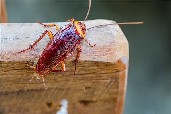 التخلص والقضاء على الصراصير